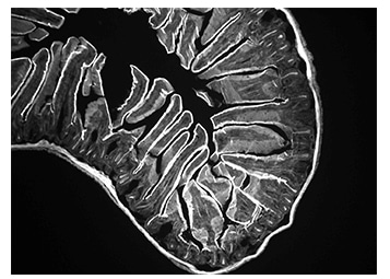 Mouse intestine sample image taken with Lumenera's INFINITY3-1M monochrome microscopy camera.
