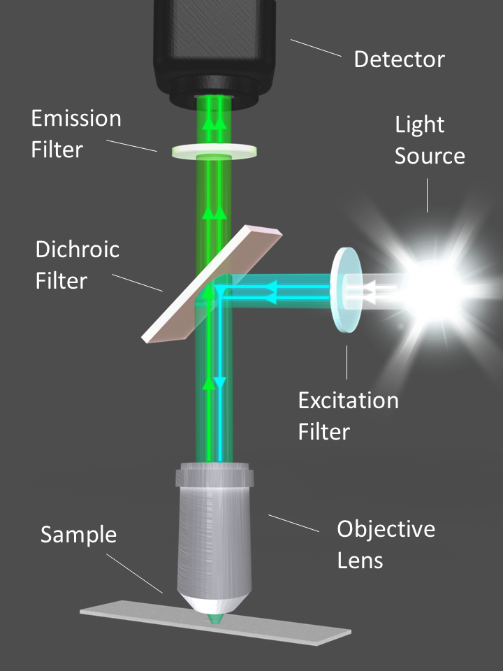 Diagram illustrating the optical filters and light path of a fluorescence microscope.