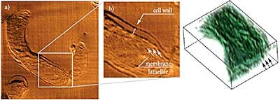 AFM tomography of resin-embedded cyanobacteria. Photosynthetic membrane lamellae are clearly seen both on enlarged AFM image and on a 3D model (4.9 x 4.6 x 0.9 µm, spaces between sections 50 nm). Sample courtesy of Dr. N. Matsko, ETH, Zurich, Switzerland