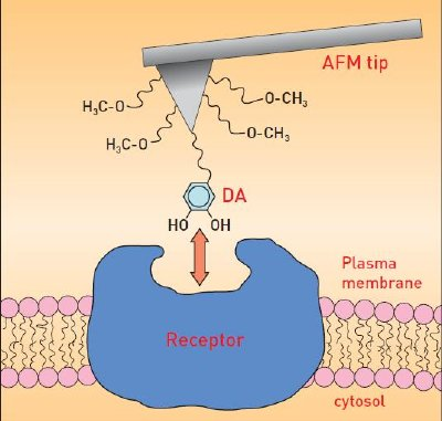 Studying ligand-receptor interactions on a living cell. The AFM tip has been functionalized in such a way that the chemical moieties of dopamine (DA) involved in the interaction with its D1-receptor are preserved. In addition, the length of the spacer minimizes the effect of the tip on the interaction itself.