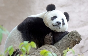 Hikvision Provides High Resolution Cameras to Moscow Zoo for Panda Observation