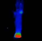 Release of Caged Calcium in Illuminated Cell